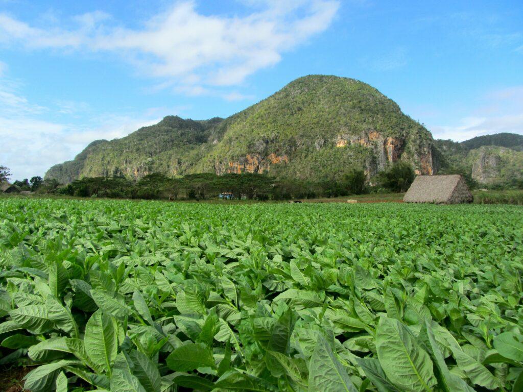 Tobacco fields, vinales, Cuba, tourism, farming, tropical